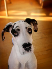 Greatdane_1