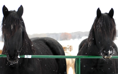Percheronsinsnow